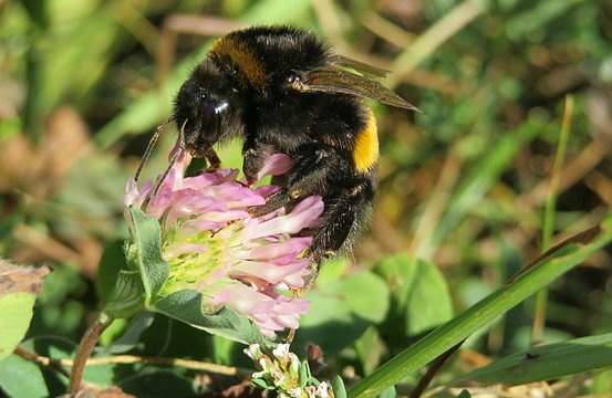 Bumblebee on the clover flower