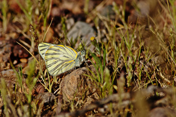 Pieridae Butterfly on the rock with grass background