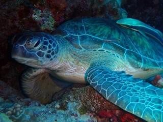 Green Sea Turtle, Marsa Mubarak, Marsa Alam area, Egypt, underwater photograph