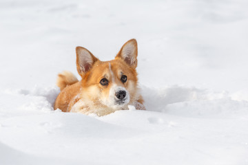 Dog Welsh Corgi cardigan in the winter in the snow
