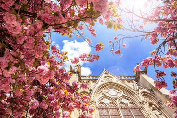 Notre Dame in the flowers of cherries in the spring