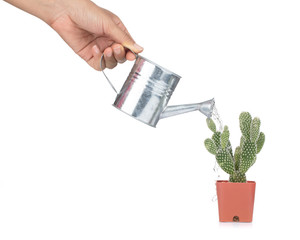 Human hand holding watering can and watering opuntia cactus in pot isolated on white background