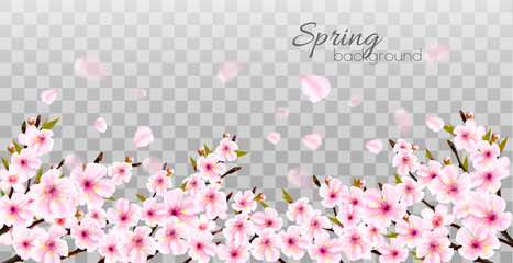 Wall Mural - Branches of a blossoming sakura on transparent background. Vector.