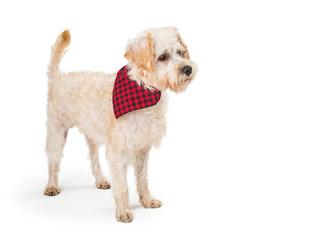 Wheaten Terrier Cross Dog Standing Side