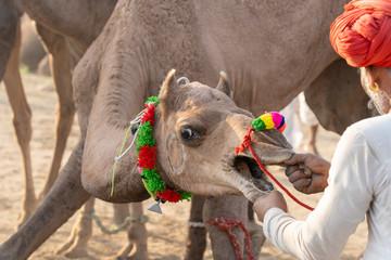 Indian man and herd camels during Pushkar Camel Mela, Rajasthan, India