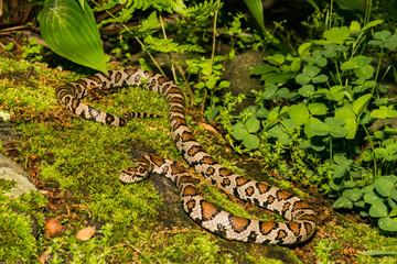 Eastern Milk Snake (Lampropeltis trianulum)