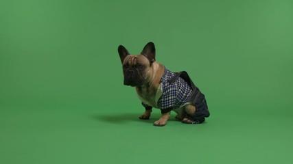 07eb5016 0:22 Dressed up French Bulldog