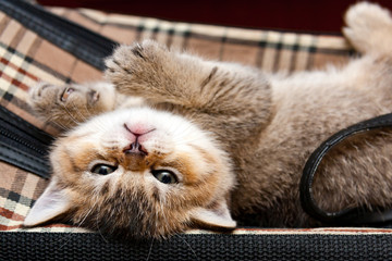 Brown British kitten with a funny muzzle lies upside down and looks at the camera