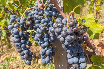 Wall Mural - grappes de raisin dans les vignes avant les vendanges