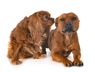 staffordshire bull terrier and cavalier king charles