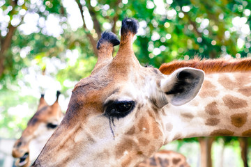 Giraffe eat leaves.
