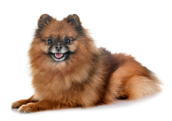 pomeranian in studio