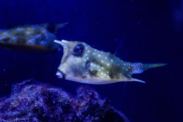 macro Lactoria cornuta Linnaeus fish