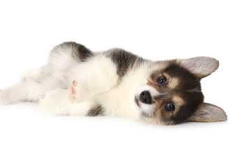 Little Welsh Corgi puppy over white