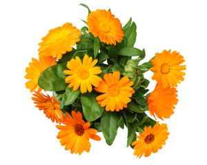 marigold flowers with green leaf isolated on white background. calendula flower. top view
