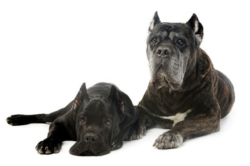 old and young cane corso dog in studio