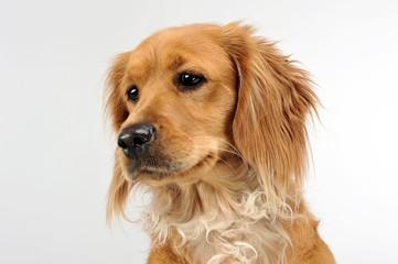 nice dog portrait in a white studio