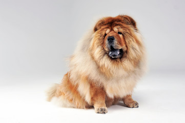 chow chow sitting in a limbo