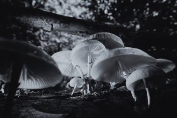 Buchen-Schleimrüblinge - schwarz weiß