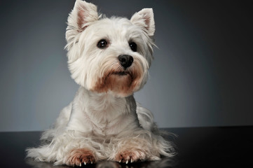 West Highland White Terrier watching on the photostudio