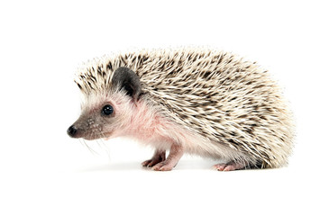 sweet young Hedgehog in the white studio