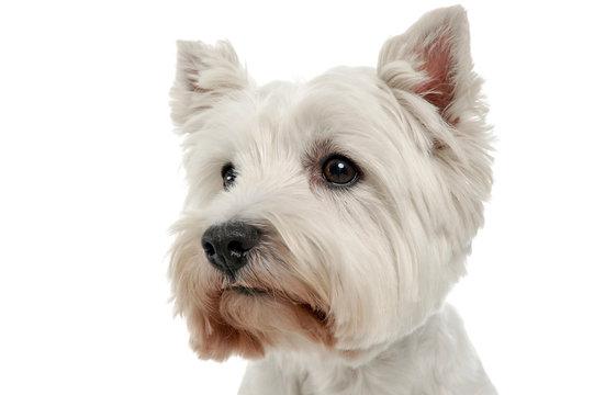 West Highland White Terrier portrait in the white studio