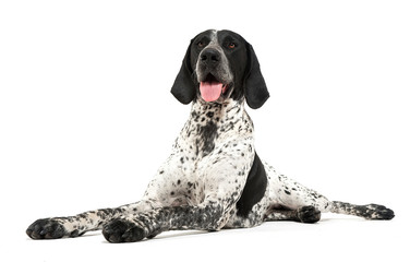 German Pointer lying on the white studio floor and looking into the camera