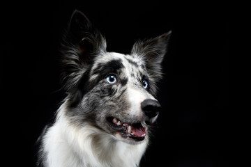 border collie portrait in the dark background