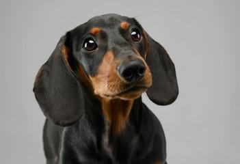 short hair puppy dachshund portrait in gray background