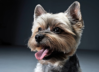 Yorkshire Terrier portrait in a dark studio