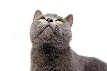 Blue Brit Cat in a white studio