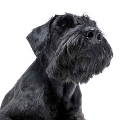 Black schnauzer portait in a white studio