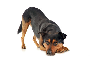 Mixed breed strong dog calling to play in white photo background