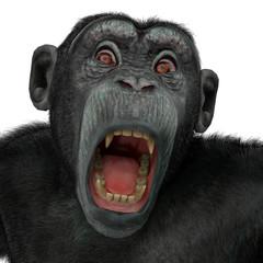 chimpanzee in a white background