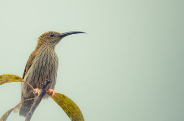 Streaked Spiderhunter (Arachnothera magna) in real nature of Thailand ,Add noise in post process for smooth of picture