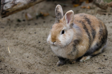Full body of multicolor domestic pygmy rabbit
