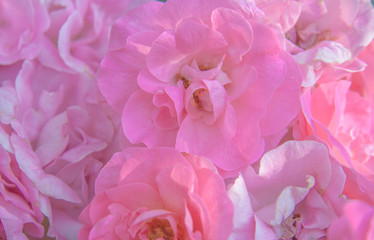 close-up of delicate pink rose