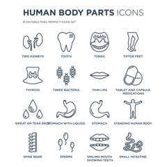 16 linear Human Body Parts icons such as Two Kidneys, Tooth, Sperms, Spine Bone, Standing human body, Small Intestine modern with thin stroke, vector illustration, eps10, trendy line icon set.