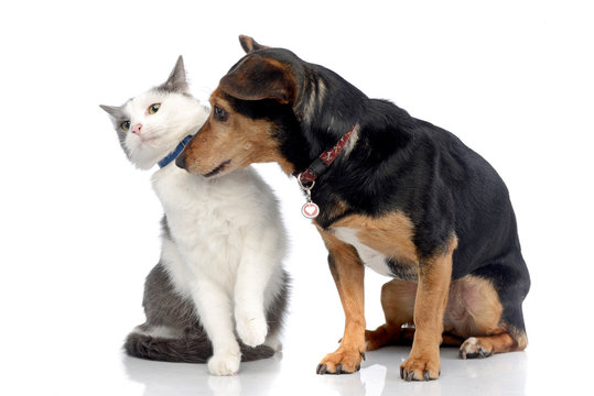 Studio shot of an adorable cat with a Dachshund dog
