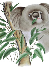 The watercolor shows a cute koala on a eucalyptus branch, she's eats leaves. Illustration executed in chinese style, isolated on white background.