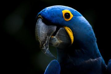 La pose en embrasure Perroquets Blue parrot