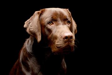 Portrait of an adorable Labrador retriever