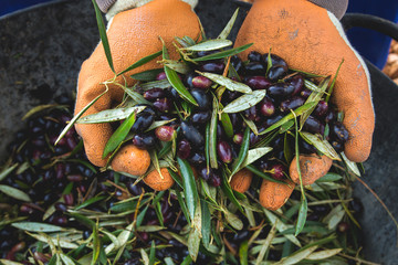 Harvest worker hands with picual olives