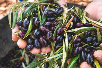 Photo sur Toile Oliviers Harvesting black picual olives