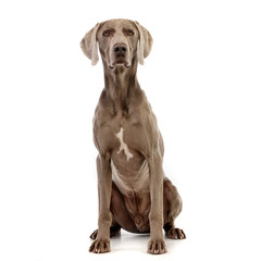 Studio shot of an adorable Weimaraner