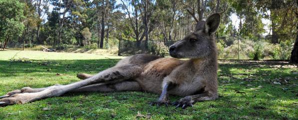 Cool kangaroo in Tasmania, Australia