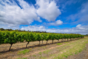 Vines on a sunny day in Margaret River, Western Australia