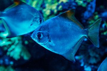 macro fish neopomacentrus filamentosus Monodactylidae