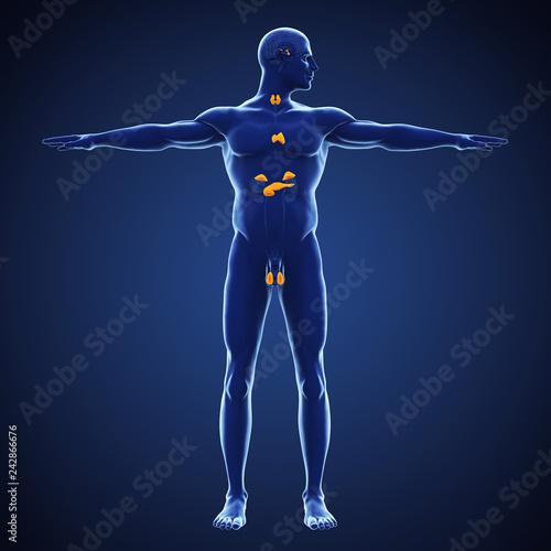 Human Endocrine System Illustration Stockfotos Und Lizenzfreie