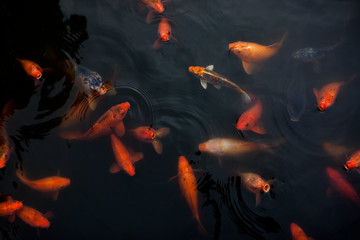 Group of goldfish swimming in a pond.